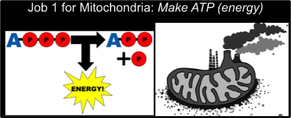 job-1-for-mitochondria-make-atp